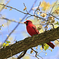 Summer Cardinal by Lori Stone