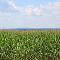 Summer Corn And Blue Skies In Maine  by Colleen Snow