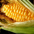Summer Corn Xl Farm Nature Harvest by Katy Hawk