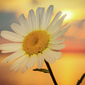 Summer Daisy  by Lisa Roskey Photography