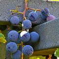 Summer Grapes by Elizabeth Ericson