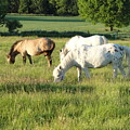 Summer Grazing by Susan Baker
