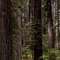 Summer In Redwood National Park by Alexander Fedin