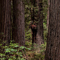Summer In Redwood National Park Vertical by Alexander Fedin