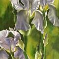 Summer Irises by Alfred Ng