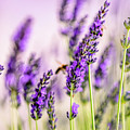 Summer Lavender  by Nailia Schwarz
