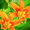 Summer Lilies by Christina Rollo