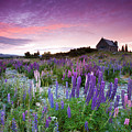 Summer Lupins At Sunrise At Lake Tekapo, Nz by Atan Chua