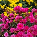 Summer Mums by Mindy Roth
