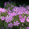Summer Phlox by Jeannie Burleson