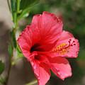 Summer Pink by Margaret Fortunato