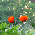 Summer Poppies by Natalie LaRocque