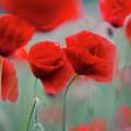 Summer Poppy Meadow 2 by Nailia Schwarz