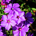 Summer Purple Phlox by D Hackett
