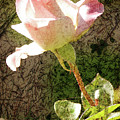 Summer Rose by Jim And Emily Bush