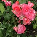 Summer Roses  by Jennifer Stark