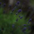 Summer Scent Of Lavender by Randi Grace Nilsberg
