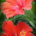 Summer Time Beauties - Hibiscus - Dora Sofia Caputo by Dora Sofia Caputo Photographic Design and Fine Art