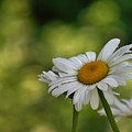 Summer Time Daisy by Barbara St Jean