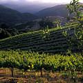 Summer Vineyard by Kathy Yates