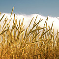 Summer Wheat by Marie Leslie