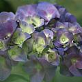Summertime Blues- Hydrangea by Margie Avellino