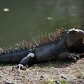 Sun Bathing Iguana Beside A Body Of Water by DejaVu Designs
