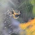 Spider On Web by Vlad V