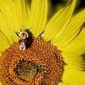 Sun Bee by Chris Lord