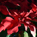 Sun Blushed Poinsettia  by William Tasker