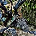 Sun Dried Anhinga by HH Photography of Florida