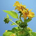 Sun Flower Artwork Sunflower 5 Giclee Art Prints Baslee Troutman by Baslee Troutman