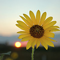 Sun Flower At Sunset by Jerry McElroy
