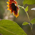 Sun Flower by Chad Davis