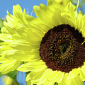 Sun Flower Garden Art Prints Sunflowers Baslee Troutman by Baslee Troutman