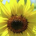 Sun Flower Glow Art Print Summer Sunflowers Baslee Troutman by Baslee Troutman