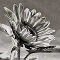 Sun Flower - Id 16235-142753-8673 by S Lurk