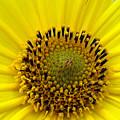 Sun Flower by Luciana Seymour