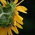 Sun Flower On Black by Colleen Gartner