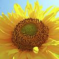Sun Flowers Art Sunflower Giclee Prints Baslee Troutman  by Baslee Troutman