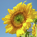Sun Flowers Garden Art Prints Baslee Troutman by Baslee Troutman