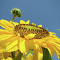 Sun Flowers Summer Sunny Day 8 Blue Skies Giclee Art Prints Baslee Troutman by Baslee Troutman