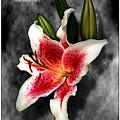 Sun Gazer Lily Poster by Roger Soule