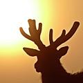 Sun Glaring Over A Bull Elk by Mark Duffy