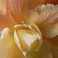 Sun Kissed Begonia Flower by Jennie Marie Schell
