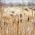 Sun Kissed Cattails - Casper Wyoming by Diane Mintle