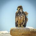 Sun Kissed Eagle by Roxy Hurtubise