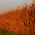 Sun-painted Cornfield by Patricia Montgomery
