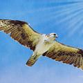 Sun Ray Osprey by Deborah Benoit