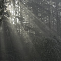Sun Rays Through The Trees On A Foggy Winter Day by John Higby